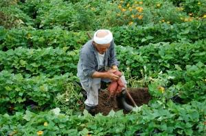 Sweet potato farm in Miyazaki
